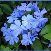 Fiore di plumbago capensis