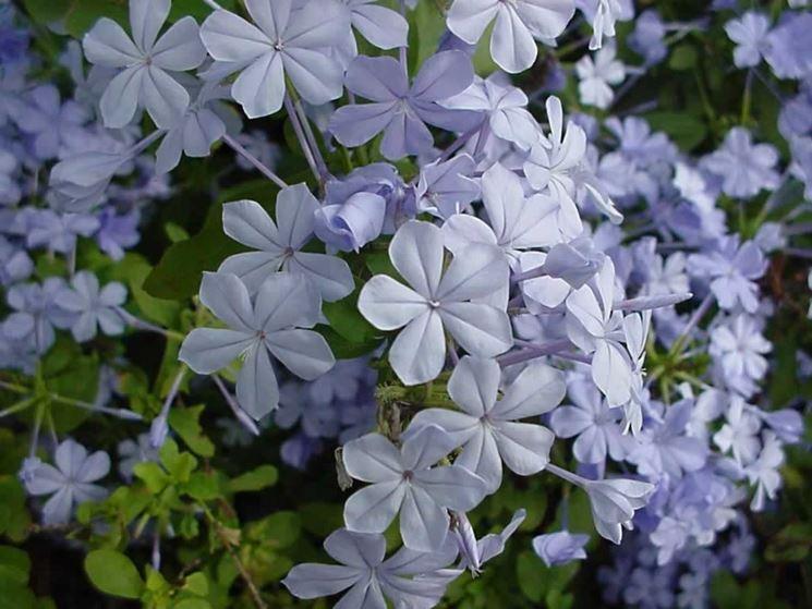 Plumbago fiore