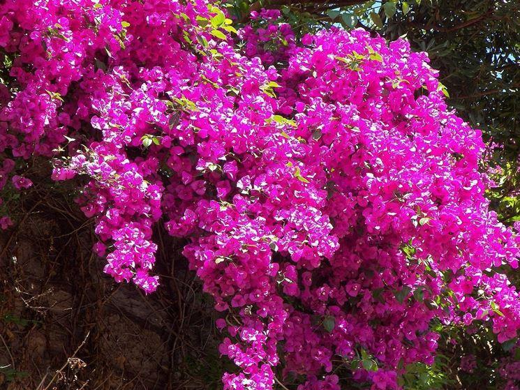 Rampicanti da esterno rampicanti caratteristiche delle for Piante da giardino rampicanti