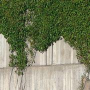 piante rampicanti da esterno