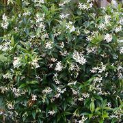 Rhyncospermum jasminoides rampicante.
