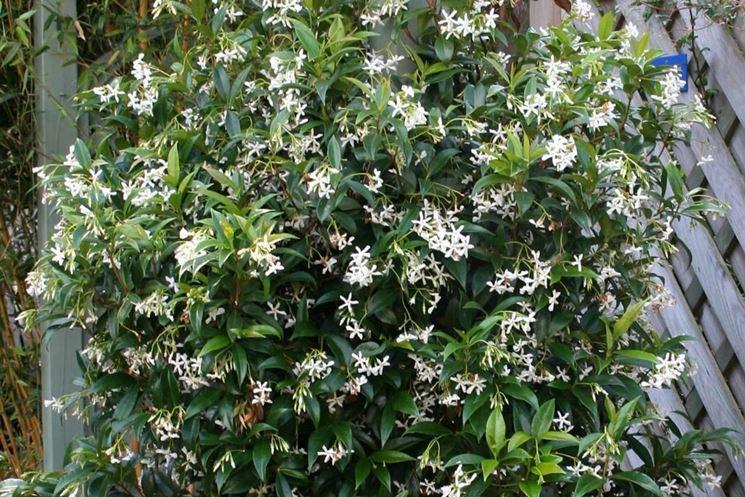 Rhyncospermum <em>jasminoides</em> rampicante.