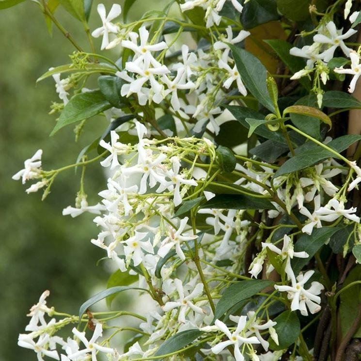 Rhyncospermum jasminoides durante il periodo vegetativo.