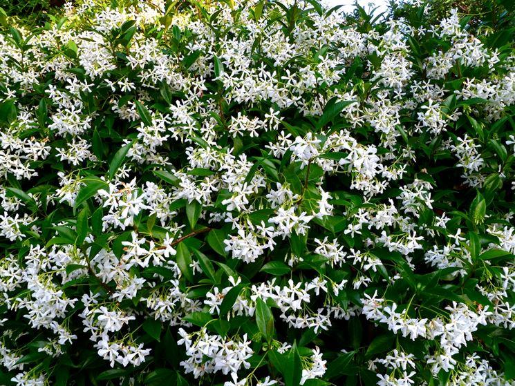 Rincospermum fioritura