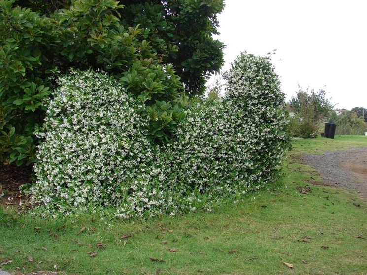 Rincospermum rampicanti coltivare rincospermo for Falso gelsomino in vaso