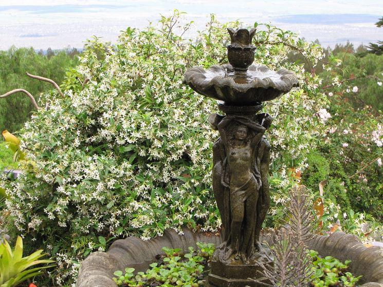 Rigogliosa fioritura di rincospermum