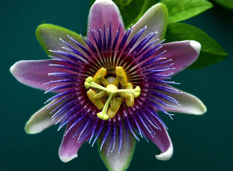 La forma del <em>fiore della passione</em> che ha ispirato i gesuiti nel '600.
