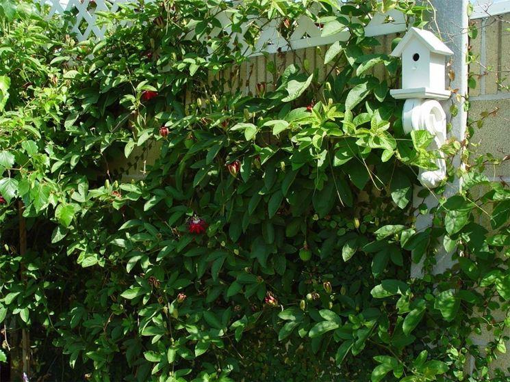 Passiflora rampicante usata per coprire un recinto.