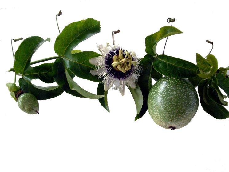 Il fiore e il frutto della Passiflora, simbolo di fedelta.