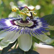 fiore passiflora