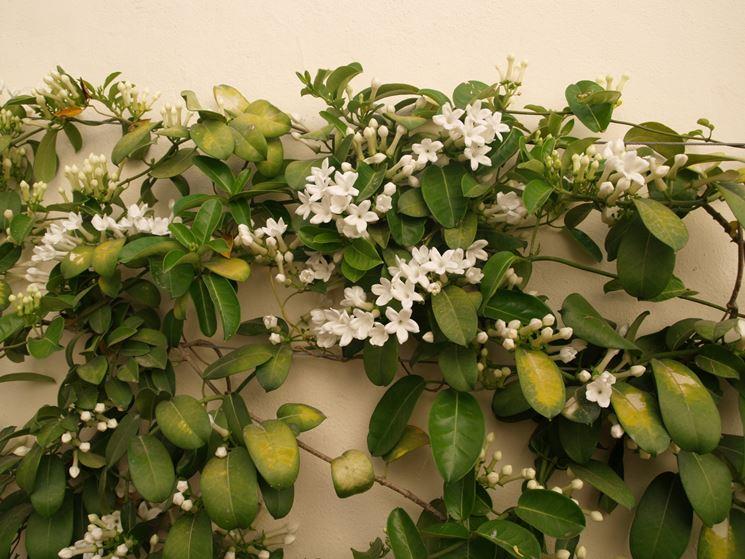 Pianta fiore Stephanotis