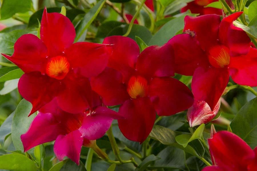 Sundevilla rampicanti for Pianta con fiori rossi