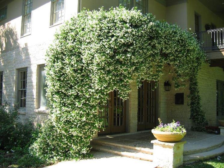 Una pianta di gelsomino rampicante