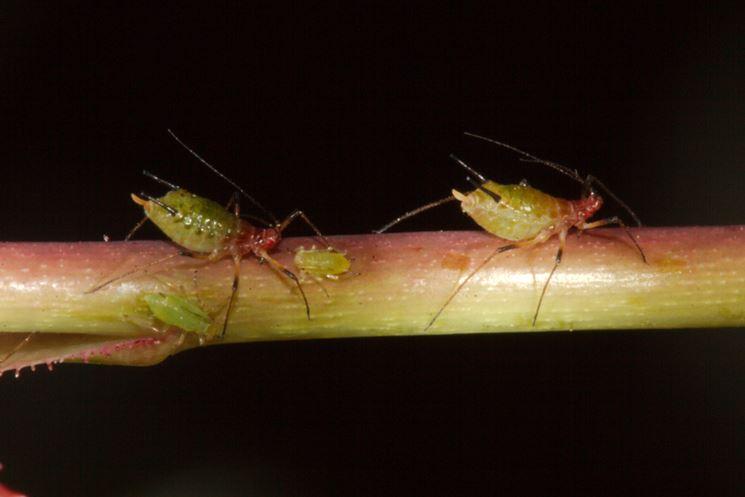 afidi e formiche su vite canadese