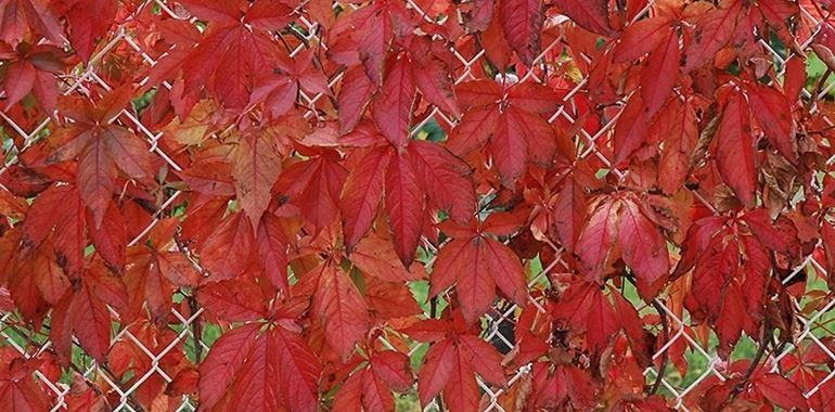 <h6>Vite del canada</h6>Una guida alla scelta e alla coltivazione della Vite Canadese: un rampicante colorato e molto suggestivo.