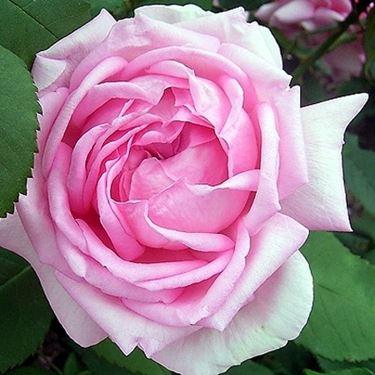 rosa mme denfert