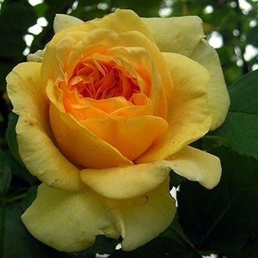 rosa alchymist