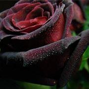 rosa baccara