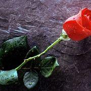 Una bellissima rosa rossa