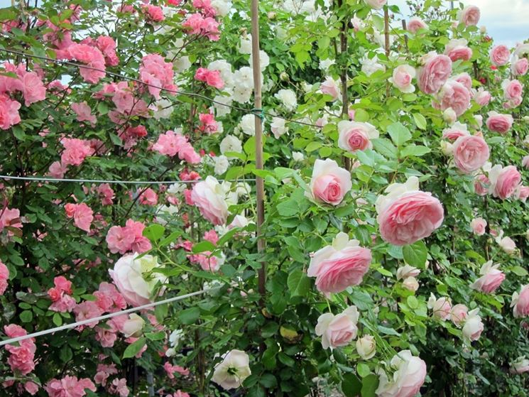 Come potare le rose rose potatura delle rose for Potatura delle rose
