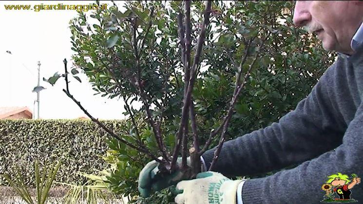 Estratto di un video sulla potatura