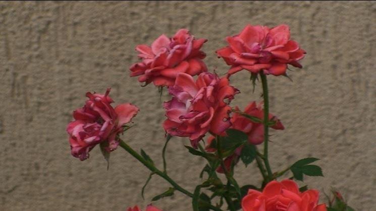 concimazione della rosa