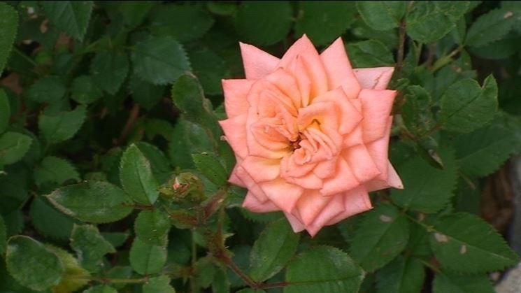 concimazione delle rose tapezzanti
