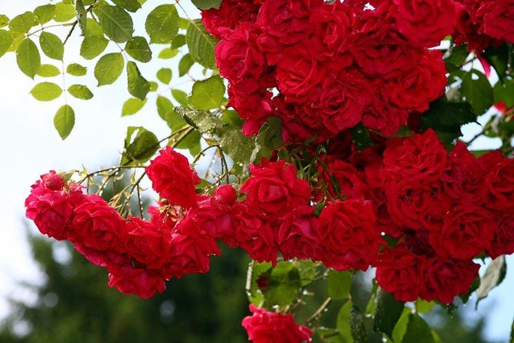Cura delle rose rose come curare le rose for Rose da giardino