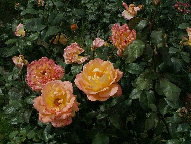 rosa cespuglio