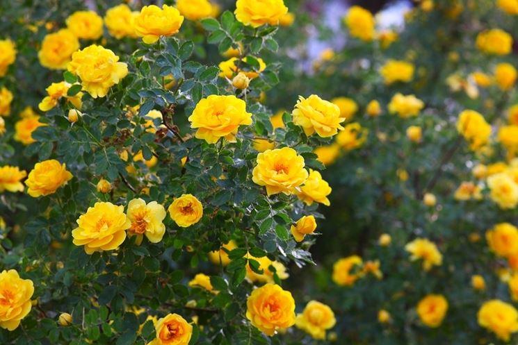 cespuglio rose gialle