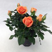 coltivazione rose in vaso