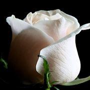 immagine di rosa bianca