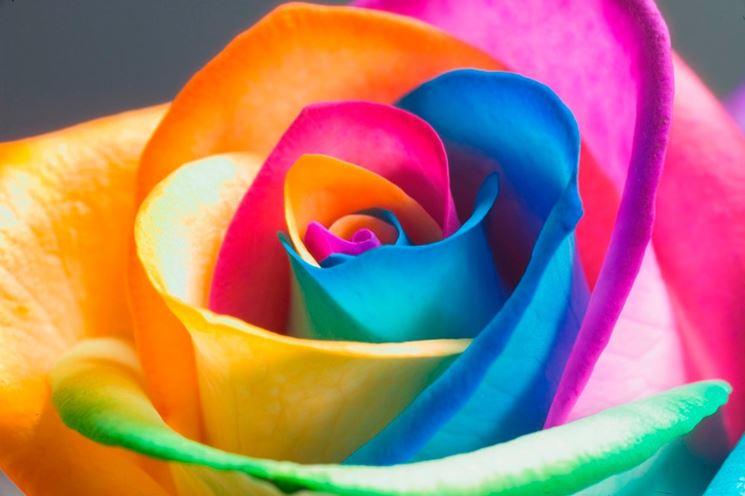 immagini di rose rose fotografie rose