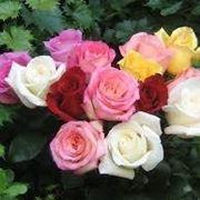 immagini di rose bellissime