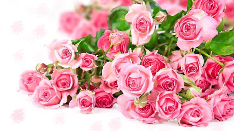 immagini di raffinate rose rosa