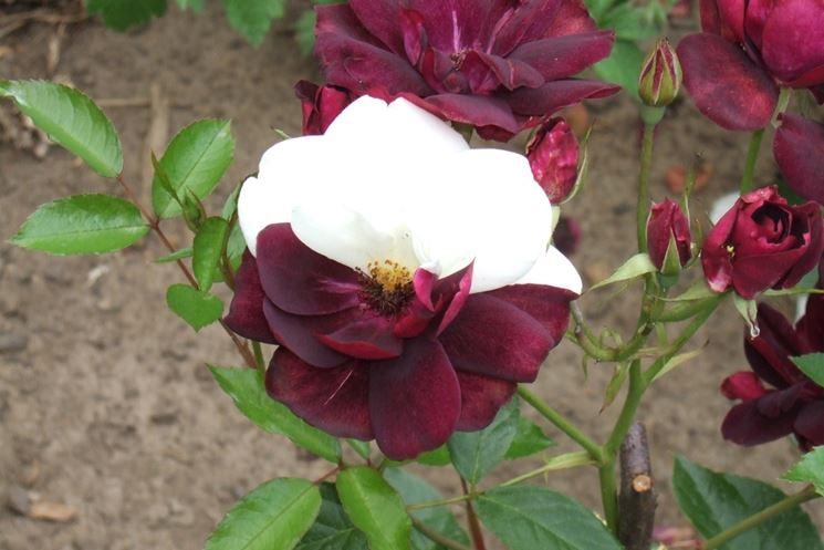 Innesto rosa rose come innestare le rose for Rose da giardino