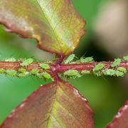 malattie rose foglie bucate