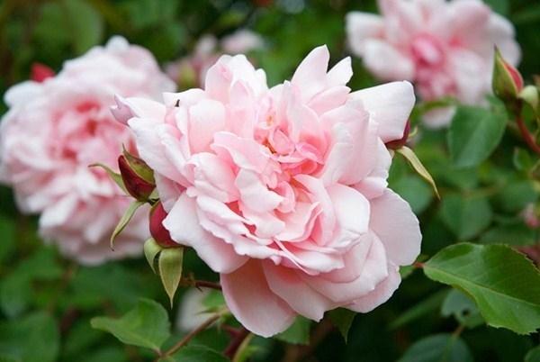 Nomi Fiori Rosa.Nomi Di Rose Rose Conoscere Il Nome Delle Rose