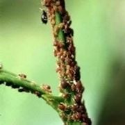 insetti che mangiano le foglie