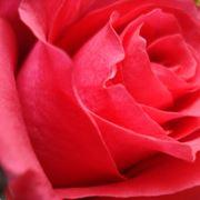 pidocchi delle rose