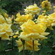 Dettaglio piante di rose