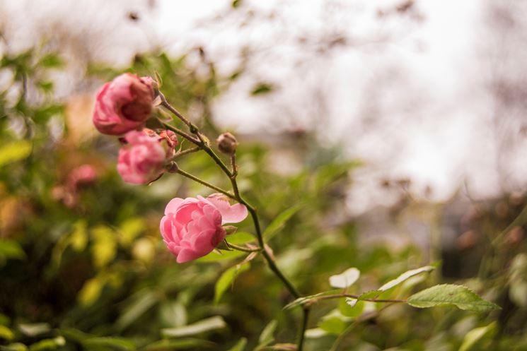come potare una rosa