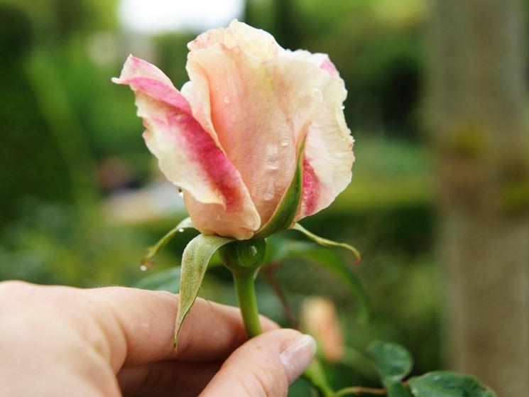 Potatura rose rose come potare le rose for Potare le rose