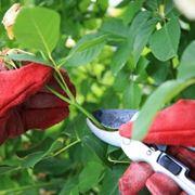 quando si potano le rose