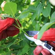 potature rose