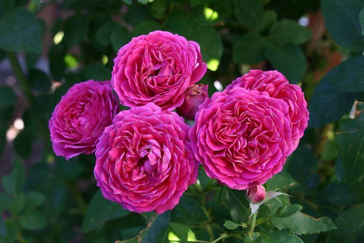 rosa fuxia