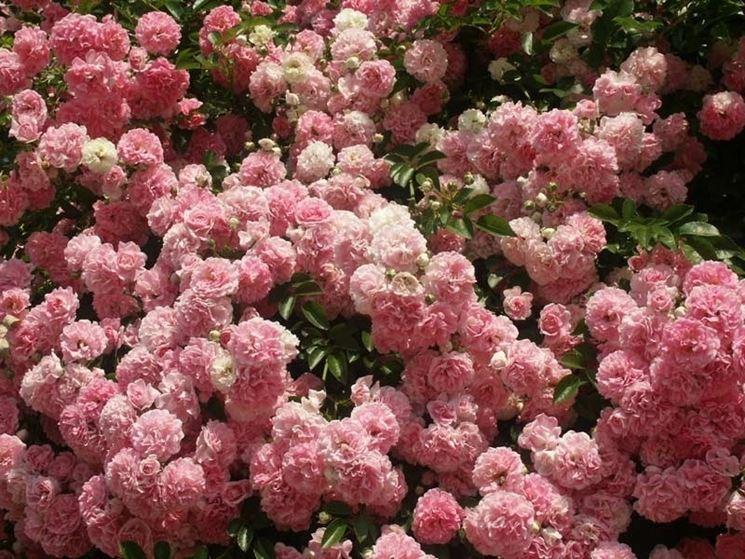 Esempio di rose rampicanti