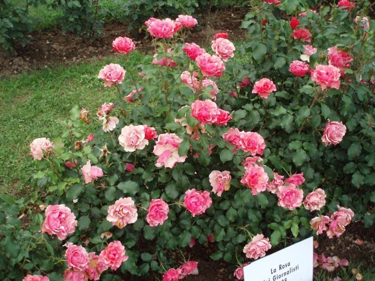 Esempio di rose a cespuglio