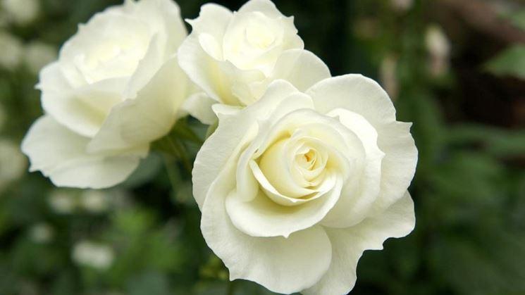 rosa bianca cespuglio