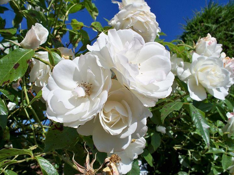 rosa bianca con ruggine